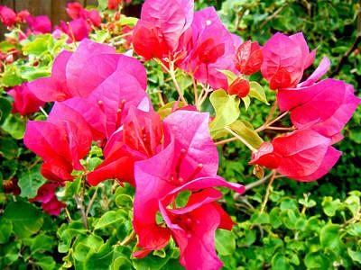 Photograph - Bouganvilla In Bloom by Adam Johnson