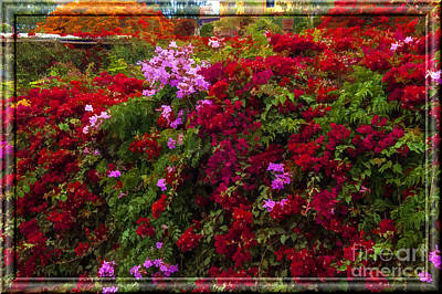 Photograph - Bouganvilla In Lima by Shirley Mangini