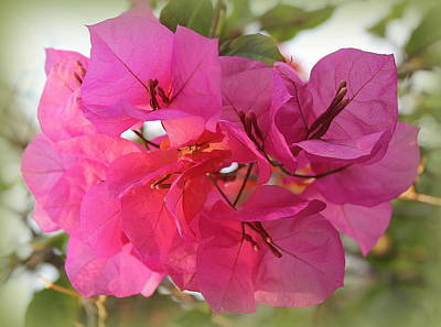 Photograph - Bouganvillea Lovely In Pink by Dora Sofia Caputo Photographic Art and Design