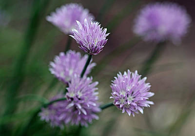 Photograph - Bouquet Of Chives by Debbie Oppermann