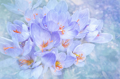Photograph - Bouquet Of Crocuses by Jenny Rainbow