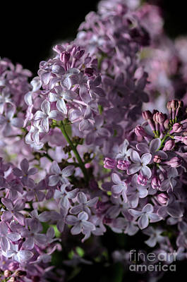 Photograph - Bouquet Of Lilacs II by Tamara Becker