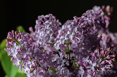 Photograph - Bouquet Of Lilacs by Tamara Becker