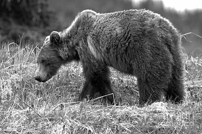 Photograph - Bow Lake Grizzly Black And White by Adam Jewell