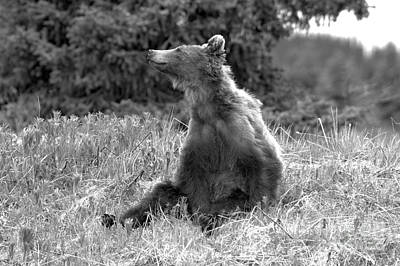 Photograph - Bow Lake Lounging Grizzly Bear Black And White by Adam Jewell