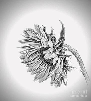 Photograph - Bowed Sunflower Bw by Shirley Mangini