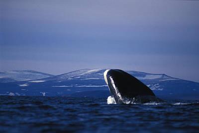 Bowhead Whale Balaena Mysticetus Art Print by Nick Norman