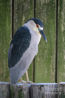 Photograph - Bowing Black-crowned Night Heron by Carol Groenen