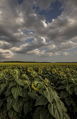 Bowing Sunflowers Print by Chris Harris