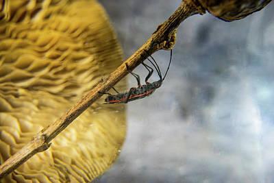 Photograph - Box Elder Bug Climbing Stalk by Douglas Barnett