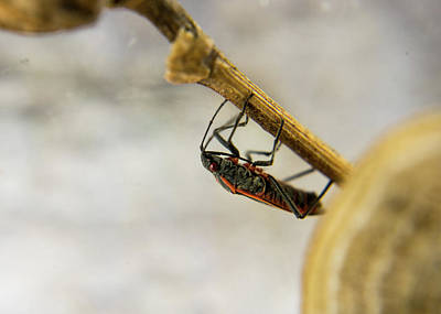 Photograph - Box Elder Bug On Plant Stem by Douglas Barnett