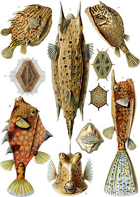 Angling Drawing - Box Fishes by German School