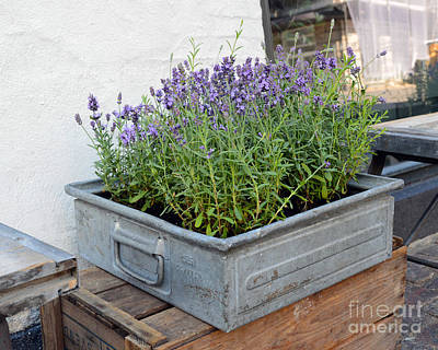 Photograph - Box Of Lavender by Catherine Sherman