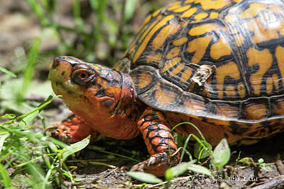Photograph - Box Turtle by Buddy Scott