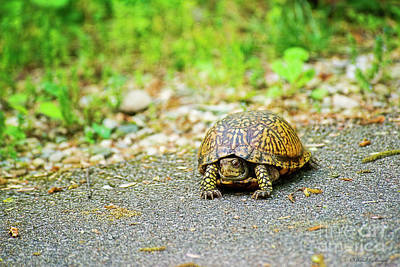 Photograph - Box Turtle by David Arment