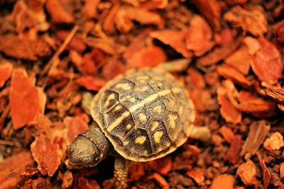 Small Turtle Photograph - Box Turtle by Jeff Swan