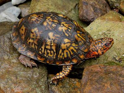 Box Turtle Art Print by Laura Corebello