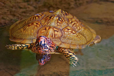 Photograph - Box Turtle Swimming by Robert Charity