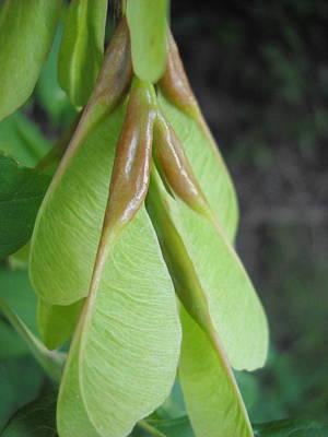 Photograph - Boxelder Seed Pods In July by Kent Lorentzen