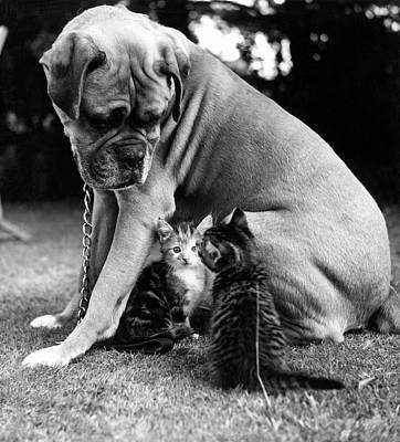 Boxer And Kittens Art Print by Ray Moreton