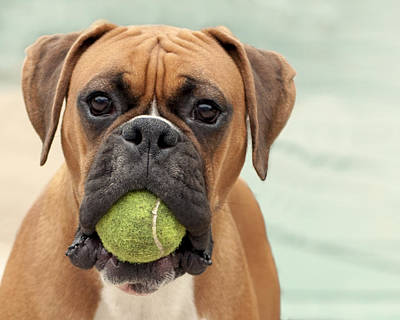 Y120831 Photograph - Boxer Dog by Jody Trappe Photography