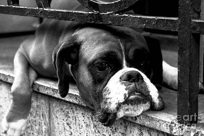 Photograph - Boxer Dog On Windowsill by Alan Harman