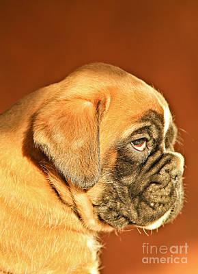 Boxer Dog Puppy Art Print by Dan Radi
