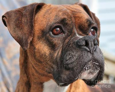 Photograph - Boxer Portrait by Debbie Stahre