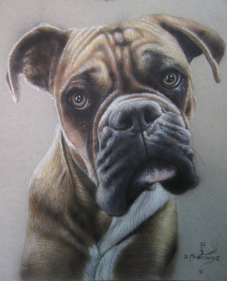 Boxer Drawing - Boxer Portrait by Jonathan Anderson