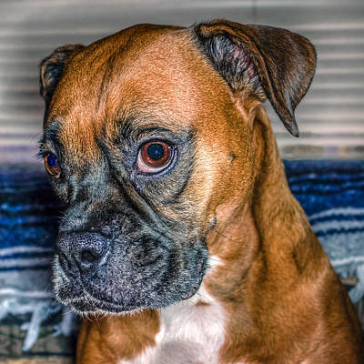 Boxer Digital Art - Boxer Portrait by Rob Sellers