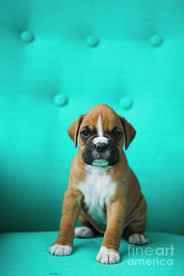 Royalty-Free and Rights-Managed Images - Boxer Puppy by Diane Diederich