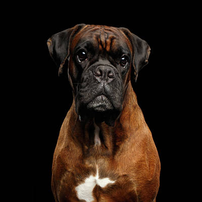 Boxer Dog Photograph - Boxer by Sergey Taran