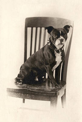 Of Dogs Photograph - Boxer Sitting On A Chair by Unknown
