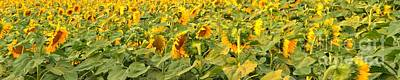 Photograph - Bozeman Sunflower Panorama by Adam Jewell
