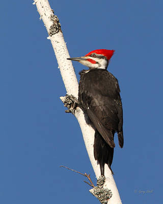 Pileated Woodpecker Photograph - Bracing For Lunch by Gerry Sibell