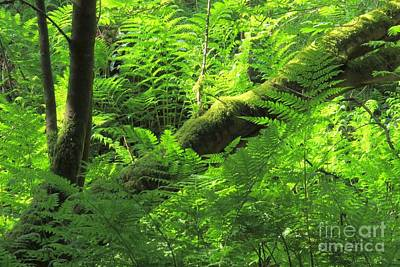 Photograph - Bracken Forest by Frank Townsley