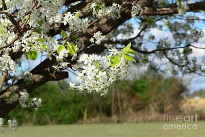 Photograph - Bradford Blossom by Maria Urso