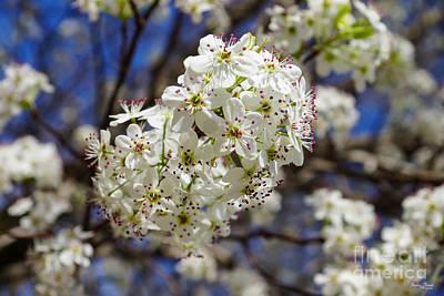 Photograph - Bradford Pear Blooms by Jennifer White