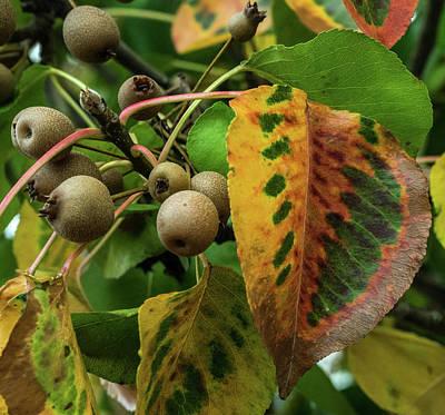 Rosaceae Photograph - Bradford Pear Fruit And Leaves by Douglas Barnett