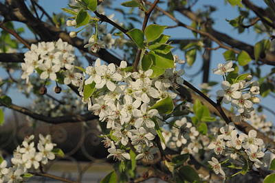 Photograph - Bradford Pear by Robyn Stacey
