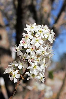 Photograph - Bradford Pear Tree Flowering Blooms by Patricia Spicuzza