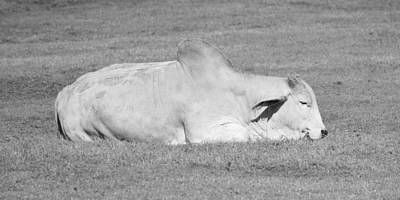 Photograph - Brahman Bull - Black And White by rd Erickson