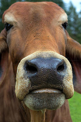 Photograph - Brahman Cattle Closeup Portrait by Jit Lim
