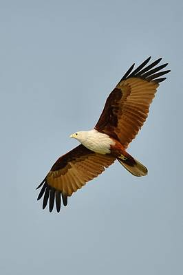 Photograph - Brahminy Kite by Balram Panikkaserry