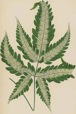Garden Drawing - Brake Fern by English School