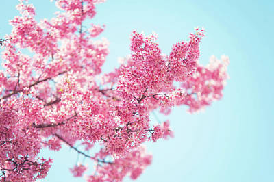 Photograph - Branch Of Blooming Pink Prunus Tree by Jenny Rainbow