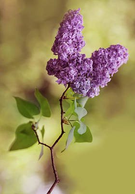 Photograph - Branch Of Fresh Violet Lilac by Jaroslaw Blaminsky