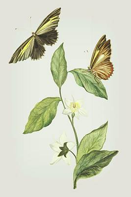 Mixed Media - Branch Of Gitte Gum With A Flying And Sitting Butterfly  By Cornelis Markee 1763 by Cornelis Markee