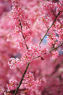 Photograph - Branch Of Pink Kwanzan Cherry Tree In Bloom by Jenny Rainbow