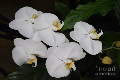 Photograph - Branch Of White Orchids by Jeannie Rhode